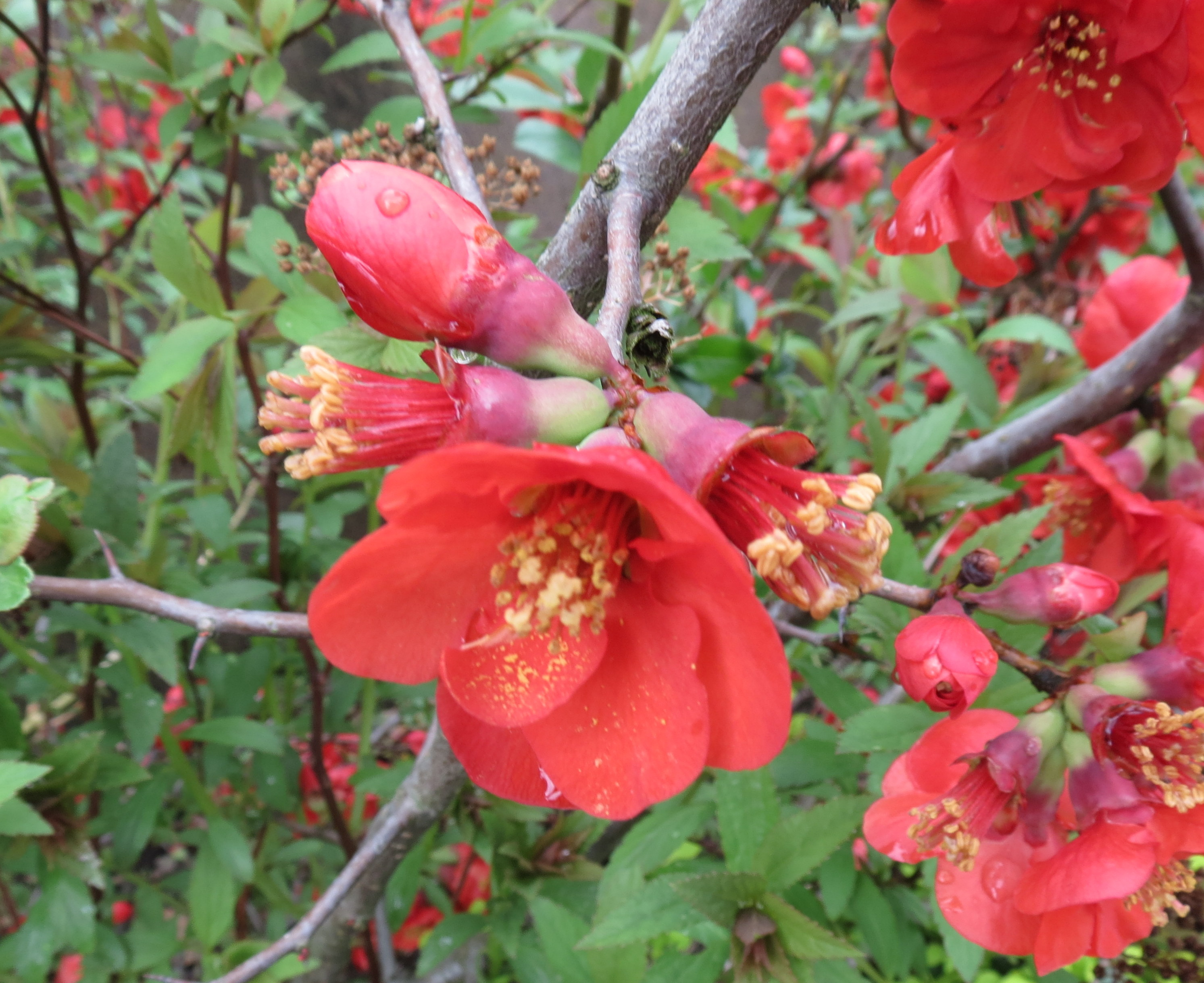 Chaenomeles x superba Fire Dance